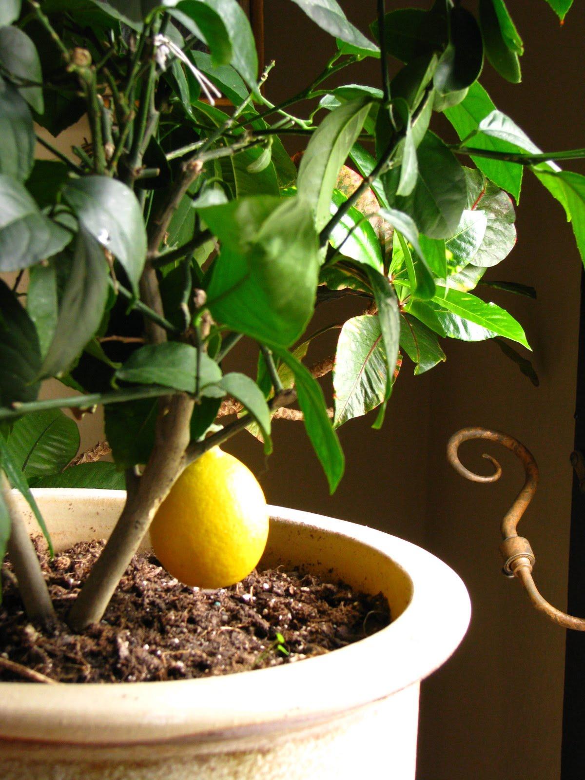 Домашний лимон уход в домашних условиях фото 344