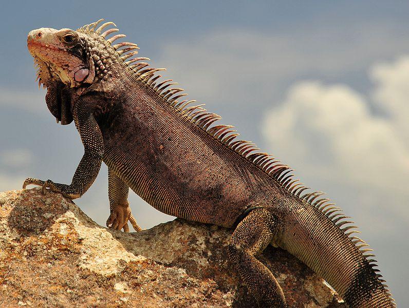 Foto Iguana Lucu