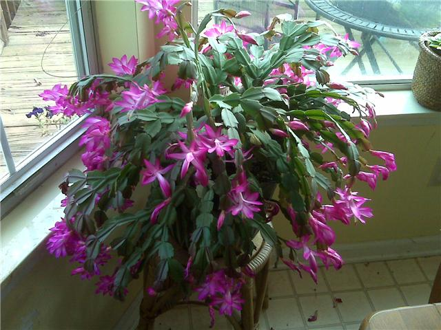 christmas cactus watering while blooming