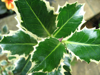 Photo of the leaves of the holly tree Ilex aquifolium 'Argentea marinata'