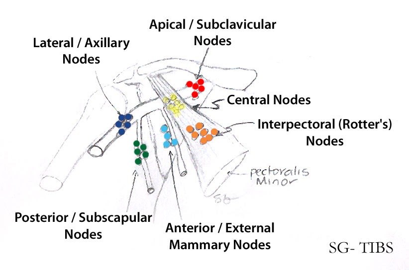 The International Blog Of Surgery Axillary Lymph Nodes