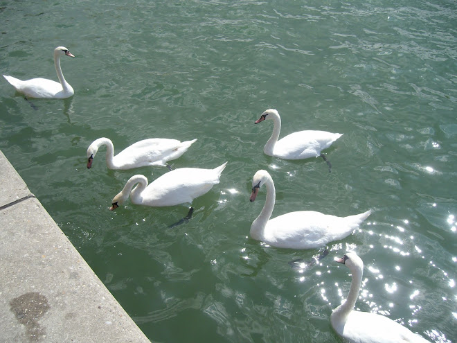 Swans along the Danube