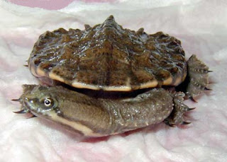 Argentine Snake-necked Turtle (Hydromedusa Tectifera)