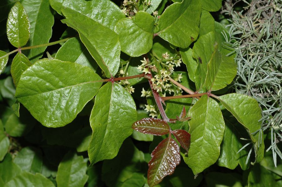 poison oak rash treatment. poison sumac rash pictures.