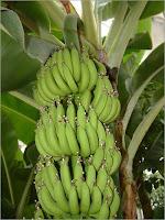 Thème 3 : les familles des plantes : Chapitre 5 : Musacées Musa-Acuminata