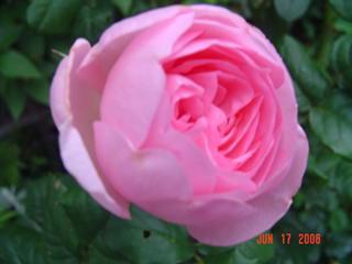 [Rosa+'Scepter'd+Isle'.JPE]