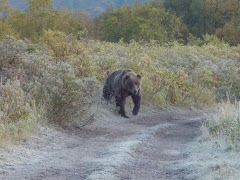 Crossing trails with a Grizzy Bear