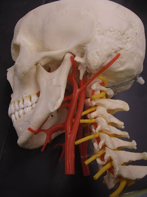 arteries and veins of neck. Veins and Arteries Models