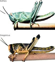 Environmental conditions can cause desert locusts to enter a