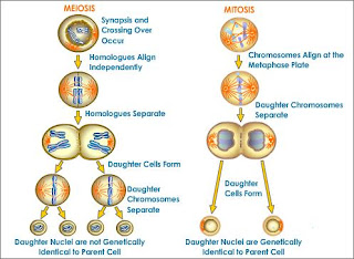 Meiosis Significance Of Meiosis | RM.