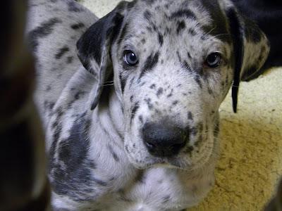 Week old great dane pups