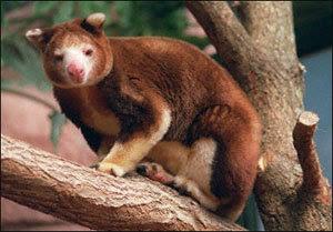 Kangguru pohon = Beruang + kanguru