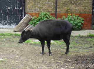 Anoa = Kerbau + kambing