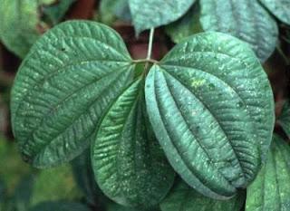 dioscorea hispida Dioscorea hispida [1] är en enhjärtbladig växtart som beskrevs av august wilhelm dennstedt dioscorea hispida ingår i släktet dioscorea och familjen dioscoreaceae  [ 2 ] [ 3 ] inga underarter finns listade i catalogue of life.