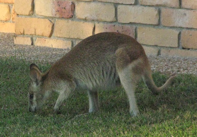 Wallaby at Carlyle Gardens