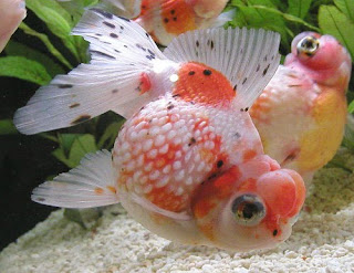 Venta de goldfish reproduccion criadero for Peces para criadero