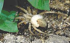 Araña Parasitada