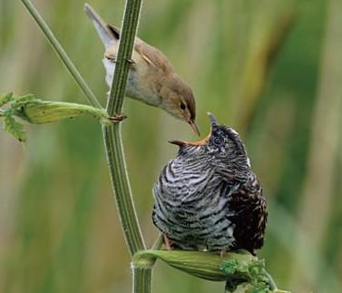 cuckoo bird and warbler symbiotic relationship