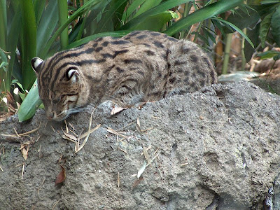 Life in a fast lane top 10 killer cats for The fishing cat