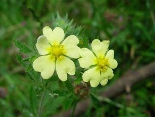 Fleurs Sauvages Renaud Les Potentilles