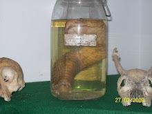 kepala ular kna awet