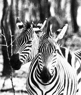 Zebra face Gallery Image