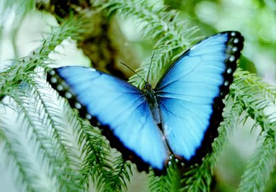 Blue Morpho Butterfly Pics