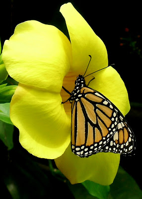 Yellow Beauty Butterfly Pics