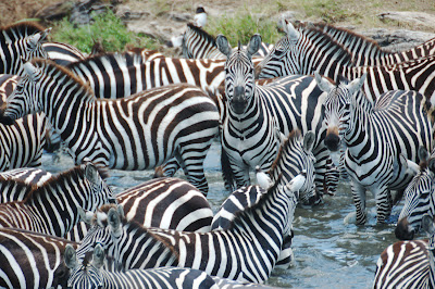 zebras crossing Mara triangle Image