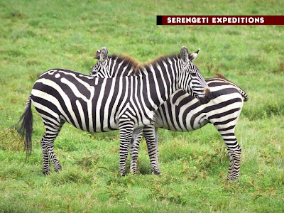 Two zebras Photograph