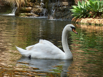 Birds Swan in the lake Photo Pics