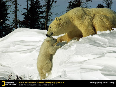 Beautiful Polar Bear With Mom Photo