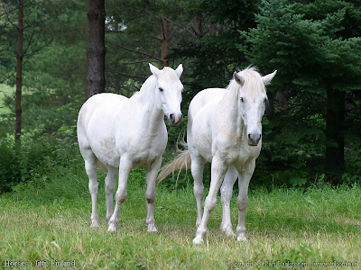 Two white Horses cute background Wallpaper