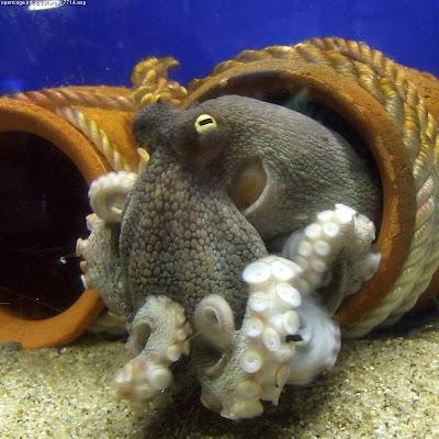 Octopus vulgaris video clip photo