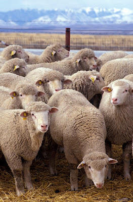 Bulk of Sheeps Animal Picture and Photo