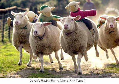 Sheep racing Picture - Photo