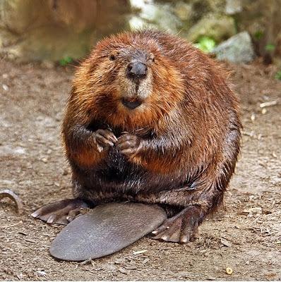 American Beaver (Castor canadensis)Photo