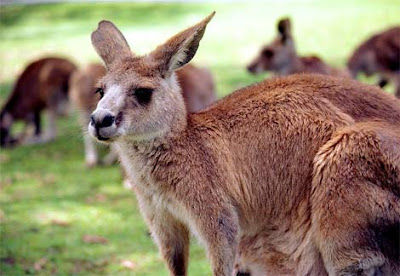Closeup view of Red Kangaroo- Animal Photo