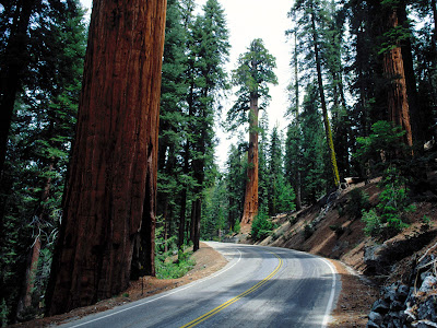 Beautiful Redwood Road,Sequoia National Park Wallpaper