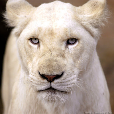 White Lion Closeup Picture