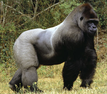 African silverback gorilla - photo#4