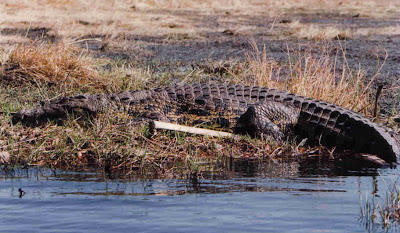 African Crocodile Safaris Botswana Photo