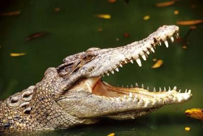Crocodiles Pics