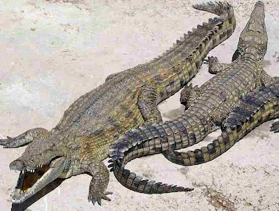 Africa Nile Crocodiles Video Pics