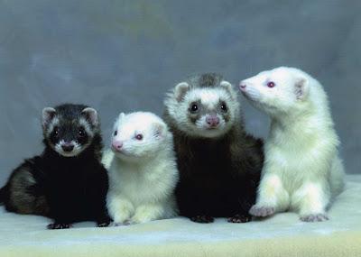Ferrets Picture