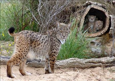 Iberian Lynx Cubs Photo