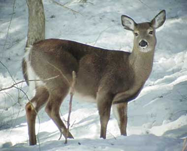 Vermont White Tail Deer Wallpaper