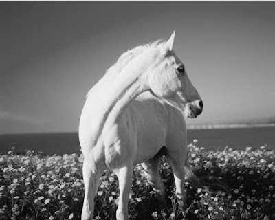 White Horse - White Horses Wallpaper