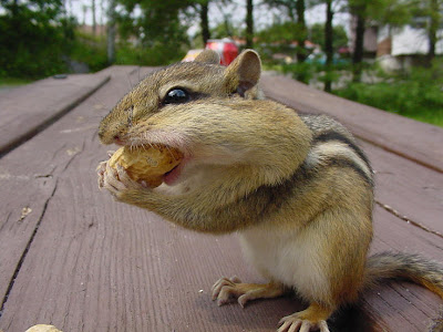 Cute Little Chipmunk Picture
