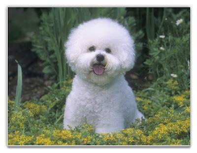 Bichon Frise Dogs Puppy Pics